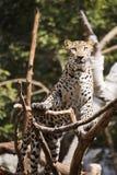 Lampart wspina się drzewa Zdjęcia Royalty Free