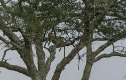 Lampart wysoki up w drzewie, kłamający przez gałąź, patrzeje z lewej strony Zdjęcia Royalty Free
