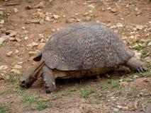 lamparta żółw Zdjęcia Royalty Free