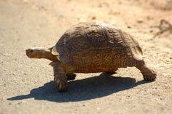 lamparta żółwia Zdjęcia Royalty Free