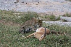 Lamparta łasowania zdobycza gazela w dzikim maasai Mara Zdjęcia Stock