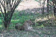 Lamparta dosypianie w cieniu drzewa Kenja, Afryka Zdjęcia Royalty Free