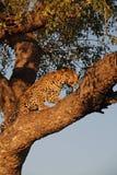 lamparta drzewo Zdjęcia Stock