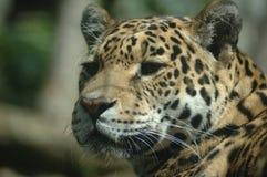 Lamparta Edynburg zoo obraz stock