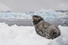 Lamparta foki siuśki Fotografia Stock