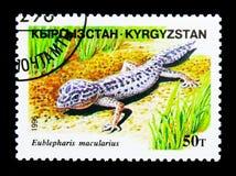 Lamparta gekon, gada seria około 19, (Eublepharis macularius) Zdjęcie Royalty Free