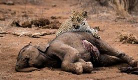 Lamparta karmienie na słonia ścierwie w Kruger parku narodowym, Południowa Afryka Obrazy Stock