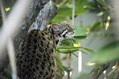 Lamparta kot w niewoli obraz stock