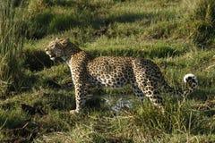 Lamparta kota Dziki piękno Zdjęcie Stock