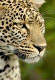 lamparta krajowej rezerwy serengeti Zdjęcie Royalty Free