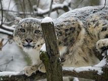 lamparta śnieg Fotografia Royalty Free