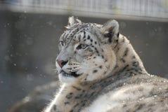 lamparta śnieg Obrazy Royalty Free