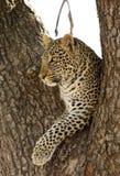 Lamparta obsiadanie na drzewo Zdjęcia Stock