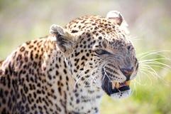 lamparta panthera pardus Zdjęcia Royalty Free