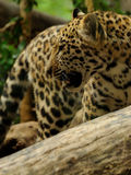 lamparta panthera pardus zdjęcia stock