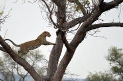 Lamparta (Panthera pardus) doskakiwanie Fotografia Stock