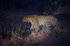 Lamparta polowanie przy nocą Obraz Royalty Free