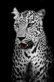 Lamparta portret Obraz Royalty Free