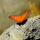 Lamparta pospolity Motyl Fotografia Royalty Free