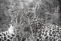 Lamparta Sabi piaska czarny i biały safari Południowa Afryka zdjęcie stock