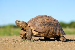 Lamparta tortoise Fotografia Stock