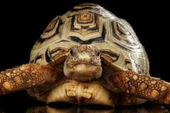 Lamparta tortoise albinos, Stigmochelys pardalis z białą skorupą Odizolowywał Czarnego tło Zdjęcia Stock