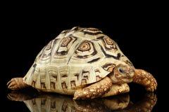 Lamparta tortoise albinos, Stigmochelys pardalis z białą skorupą Odizolowywał Czarnego tło Zdjęcie Royalty Free