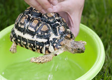 Lamparta tortoise - dzienna higiena Obraz Stock