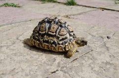 Lamparta Tortoise na ścieżce Obraz Stock