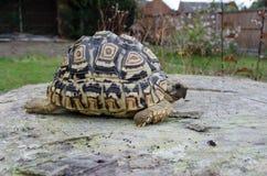 Lamparta Tortoise na Drzewnym fiszorku Zdjęcie Royalty Free