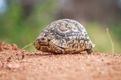 Lamparta tortoise odprowadzenie na drodze Obrazy Royalty Free