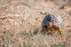 Lamparta tortoise odprowadzenie w trawie Fotografia Royalty Free