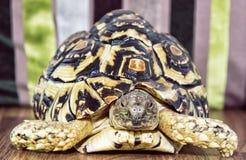Lamparta tortoise portret, zwierzęcy temat (Geochelone pardalis) Obraz Royalty Free