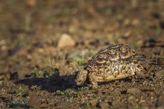 Lamparta tortoise w Kruger parku narodowym, Południowa Afryka zdjęcie royalty free
