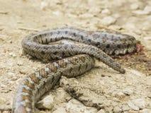 Lamparta wąż Zdjęcia Stock