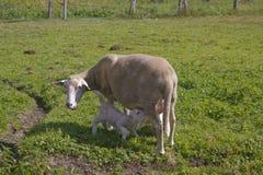 Lampe allaitant ses moutons de mère Image stock