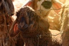 Lampe de Brown dans le regard et le sourire du portrait de ferme à l'appareil-photo Image libre de droits
