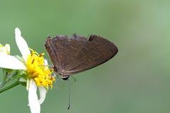 Lampides boeticus Stock Photo
