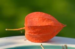 Lampion植物 库存照片