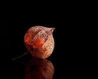 Lampion seco (physalis do alkekengi) em agains retroiluminados Imagens de Stock Royalty Free