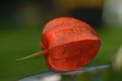 Lampion växt Fotografering för Bildbyråer
