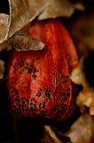 Lampion växt Arkivfoto