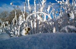 Lampone in inverno fotografie stock libere da diritti
