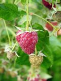 Lampone maturo rosso in giardino, Lituania Immagini Stock Libere da Diritti