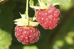 Lampone nel giardino della frutta Fotografie Stock