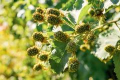 Lampone verde non maturo che cresce nel giardino Primo piano di berrie fotografie stock