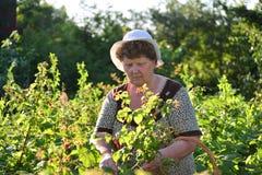 Lamponi anziani della riunione della donna nel giardino immagine stock libera da diritti