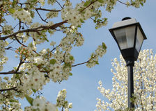 Lamppost in the Trees. This lamppost poses itself elegantly among the blossoms of these spring trees Royalty Free Stock Images