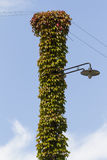 Lamppost wrapped in ivy Stock Images