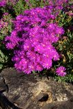 Lampranthus amoenus Stock Photos